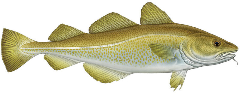 Atlantic Cod colour CMYK